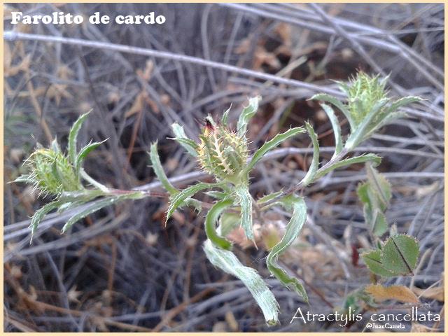 Flora silvestre de Lanzarote V (6/6)